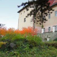 Оцтове дерево (сумах) на подвірї замку, Ужгород