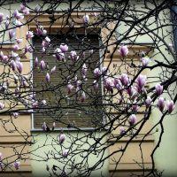 Магнолии над окном дома, Ужгород