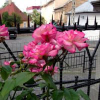 Розы, Ужгород