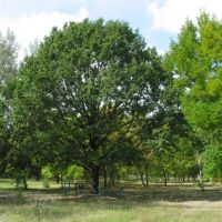 Парк и знаменитый дуб, Веселое
