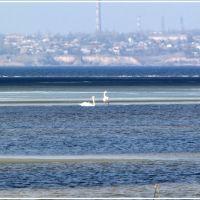 Swans on the Dnepr River, Каменка-Днепровская