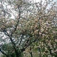 Яблуні цвіт..., Рогатин