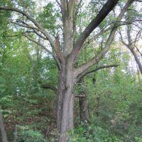 Дерево в лісочку., Богуслав