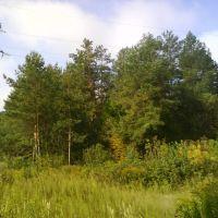 Trees near Radiostanciya, Brovary, Бровары