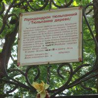 2010 05 30 Ворзель, тюльпановое дерево, tulip tree, Ворзель