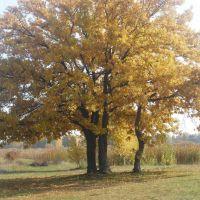 Поодиноке дерево, Козин