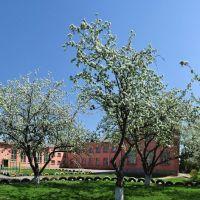 Яблони цветут, Сквира