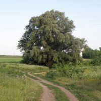 Найбільше дерево в Добровеличківці, Добровеличковка
