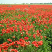 Маковое поле, Азовское