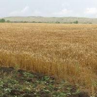 Панорама. Багерово. Зерновое поле. Вид на Андреевское урочище с северо-запада с лесополосы, Багерово