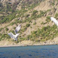 Sea-gull, Балаклава