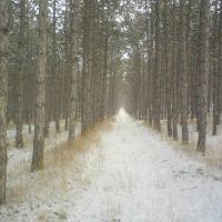 сосновый лес, Белогорск