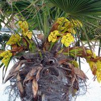 Пальма в цвету, Гаспра