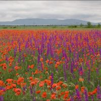 The field of wild poppies under a mountain Agarmysh Crimea, Красногвардейское
