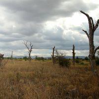 Мертві горіхові дерева на північ від Кримських гір. Степовий Крим., Красногвардейское