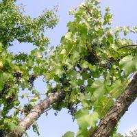дикий виноград, Байрачки