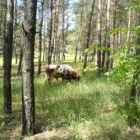 Корова в Лесу, Боровское