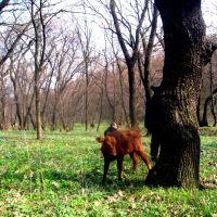 корова в леску, Вергулевка