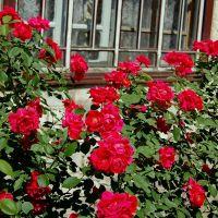 Вьющаяся роза, Кременная