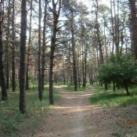 пейзаж, дорожки в сосне, Новоайдар