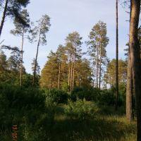 пейзаж ,акации и сосны, Станично-Луганское