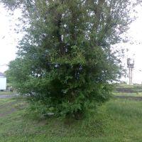 Дерево, Троицкое