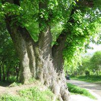Дерево біля церкви на Потоці, Борислав