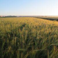 вранішнє поле * field in the morning, Броды