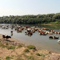 Cattle in the Stryi river, Жидачов