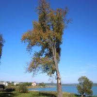 Дерево на березі, Ивано-Франково