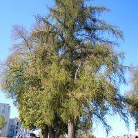 Дерево на березі 2, Ивано-Франково
