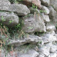 Папороть багатоніжка (Polypodium) на стіні костелу, Рава Русская