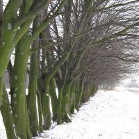 Дерева, Сокаль