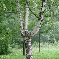 Берёзовая вилка- дело рук природы., Трускавец