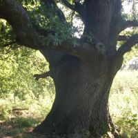 Самое древнее дерево Николаевщины - прототип пушкинского дуба зелёного у лукоморья, Кривое Озеро