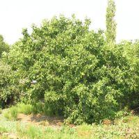 Дерево - Грецкий орех, Новый Буг