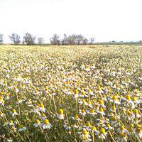 Ромашковое поле, Беляевка