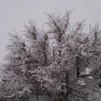 Дерево, Березовка