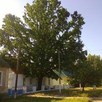 Столетний дуб, Сарата