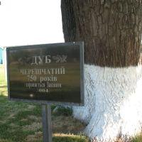 750-летний дуб, Великая Багачка