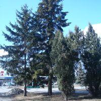 Ели, Миргород