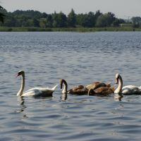 Семья лебедей, Оржица