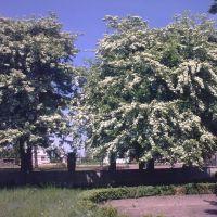 Цвітіння глоду, Владимирец