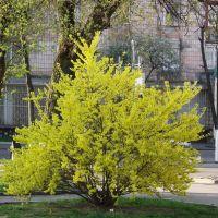 Форзиція в цвіту, Forsythia, Костополь
