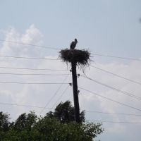 Stork nest, Костополь