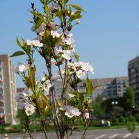 В Кузнецовске цветет сакура., Кузнецовск