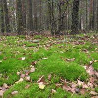 Осінній ліс, Autumn forest, Червоноармейск