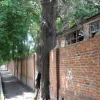 дерево і паркан, Ахтырка