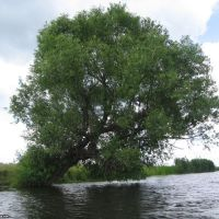 Дерево над рекой, Кириковка
