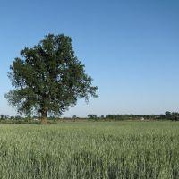 Одинокое дерево, Кириковка